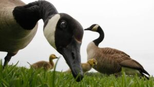 I Adopted a Baby Goose and He Turned My Household--and my Parenting---Upside-Down!